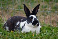 Black and white rabbit Stock Image