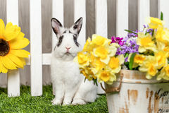 Black and white rabbit sitting in garden among the flowers. Black-and-white, rabbit, sitting in the garden among the flowers with a surprised look stock photos