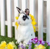 Black and white rabbit standing on hind legs. In the garden with flowers and green royalty free stock images