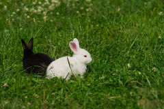 Black and white rabbits Stock Photography