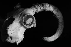 Black and White Rams Skull Royalty Free Stock Image