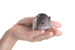 Black-and-white rat. Very small young rat on a palm, isolated Royalty Free Stock Image