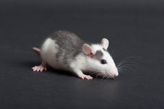 Black and white rat. Portrait of very small domestic black and white rat Royalty Free Stock Photo