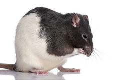 Black and white Rat Stock Photo