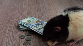 Black and white rat eats something sitting on US dollar. Gray background. stock footage