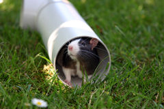 Black and white rat in plumbing pipe. Black and white rat hiding in plumbing pipe Royalty Free Stock Images
