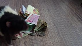 Black-and-white rat walking around money and sniffing. Grey textured background stock video footage