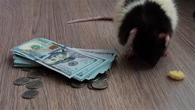 Black-and-white rat washes on coins and banknotes. US Currency. Gray background stock video