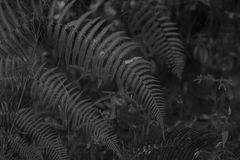 Black and white of real Fern leafs Stock Photography