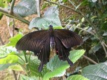 Butterfly. Bali. Common Mormon. royalty free stock photo