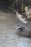 Duck on The River Bank. Black, white and red duck standing on a river bank Royalty Free Stock Photography