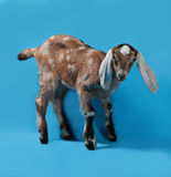 Black, white and red Nubian lamb on blue Stock Photos