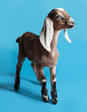 Black, white and red Nubian lamb on blue Royalty Free Stock Photos