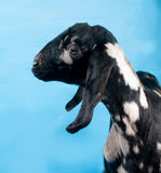 Black, white and red Nubian lamb on blue Royalty Free Stock Image