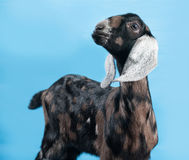 Black, white and red Nubian lamb standing on blue Stock Photos