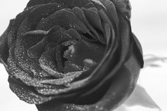 Black and White red rose close up Stock Photo