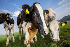 Black and white and red and white cows Royalty Free Stock Images