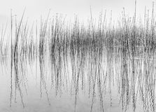 Black and white of reflecting reeds in water. Black and white image of reflecting reeds in water along a lake shore resembling a read-out from a seismograph stock photo
