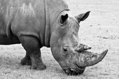 Black and white Rhino Royalty Free Stock Images