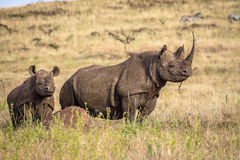 Black White Rhino with Baby Calf Rhino Royalty Free Stock Images