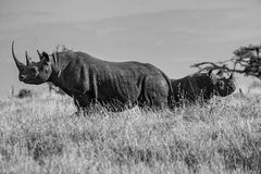 Black White Rhino Mother and Baby facing in opposite sides Royalty Free Stock Image