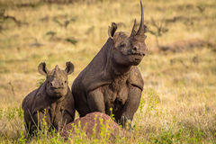 Black White Rhino on the termite hill Stock Images