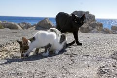 Black and white Rhodes cats, cats eating on the coast in town, sea on background. Sunlight, eye contact royalty free stock photos