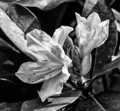Black and White Rhododendron Flower Blooms. LARGE GARDEN BLOOMS IN BLACK AND WHITE Royalty Free Stock Image