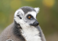 Black and white ring-tailed lemur close up profile Royalty Free Stock Image