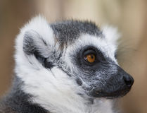 Black and white ring-tailed lemur close up profile Stock Photo