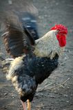 Black and white rooster stock photos