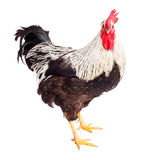 Black and white rooster in studio Royalty Free Stock Image