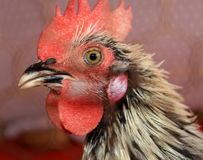 Black and white roosters head Royalty Free Stock Image
