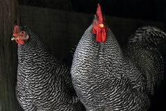 Black and White Roosters. Pair of black and white roosters with bright red comb Stock Images