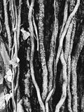 Black and white root of tree.  stock images
