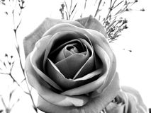 Black and white rose. Details of a rose blossom in black and white Stock Photo