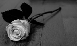 Black and White Rose stock images