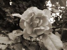 Black and white rose royalty free stock photography