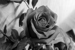 Black and white rose flowers. A rose is a woody perennial flowering plant of the genus Rosa, in the family Rosaceae, or the flower it bears stock photos