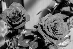 Black and white rose flowers. A rose is a woody perennial flowering plant of the genus Rosa, in the family Rosaceae, or the flower it bears royalty free stock image