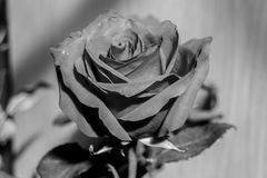 Black and white rose flowers. A rose is a woody perennial flowering plant of the genus Rosa, in the family Rosaceae, or the flower it bears stock photo