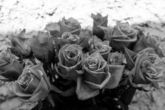 Black and white rose flowers. A rose is a woody perennial flowering plant of the genus Rosa, in the family Rosaceae, or the flower it bears stock photography