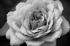 Black & White Rose. A rose with water droplets on it, in black and white Royalty Free Stock Image