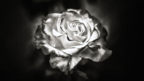 Black and white rose. A yellow and red rose in black and white Stock Photography