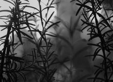 Artistic black and white photo of Rosemary growing in the garden. stock image