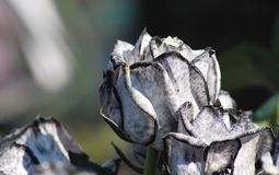 Black and White Roses Stock Photography