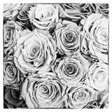 Black and white roses postcard in square. Postcard with roses in black and white Royalty Free Stock Image