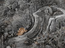 Black and white rotted log with pop of color. Decaying tree stump in black and white. Small cluster of tan mushrooms Royalty Free Stock Image