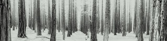 Black and white Rows of trees at the Redwood Forest Warburton in the Yarra Valley. Melbourne, Australia. Rows of trees at the Redwood Forest is a tourist Icon stock image