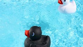 A black and a white rubber duck floating stock video